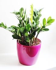 Small ZZ Plant