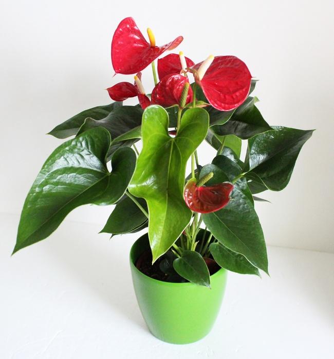 Anthurium plants large - Anthurium turenza ...